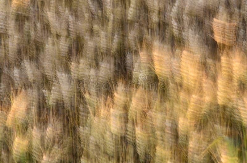 Grano soffiato dal vento fotografia stock