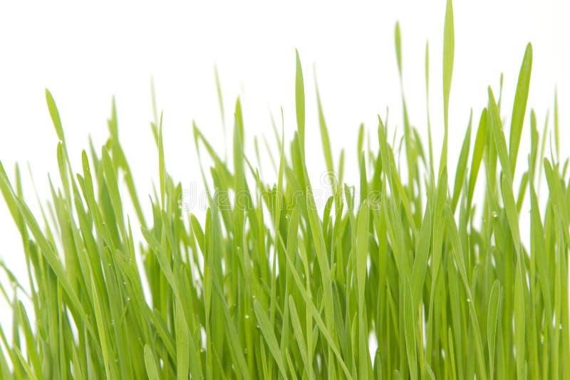Grano verde dei giovani della foglia fotografia stock