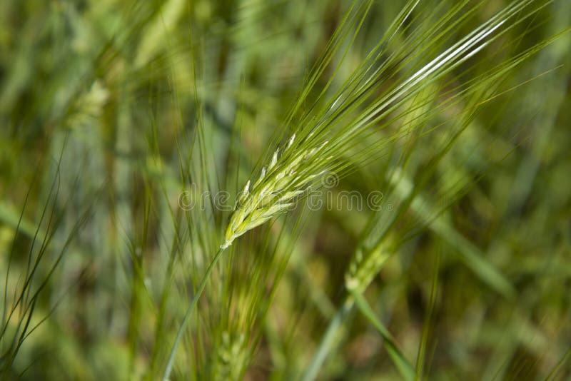 Grano verde del chicco di grano immagine stock