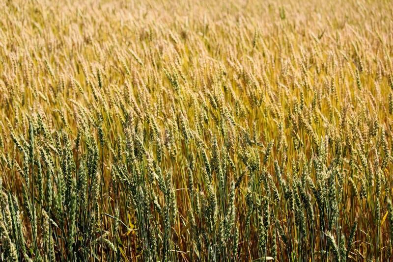 Grano verde y de oro en un campo imagen de archivo libre de regalías
