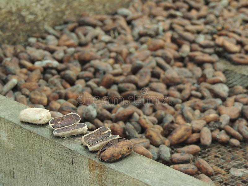 Granos de cacao que se secan en el sol imagen de archivo