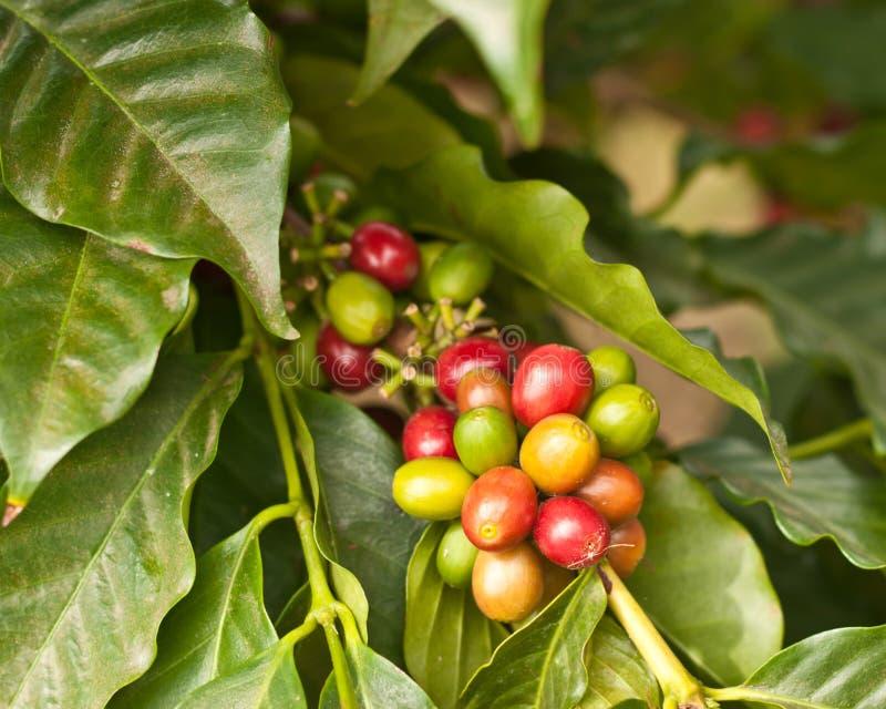 Granos de café en árbol imagen de archivo libre de regalías