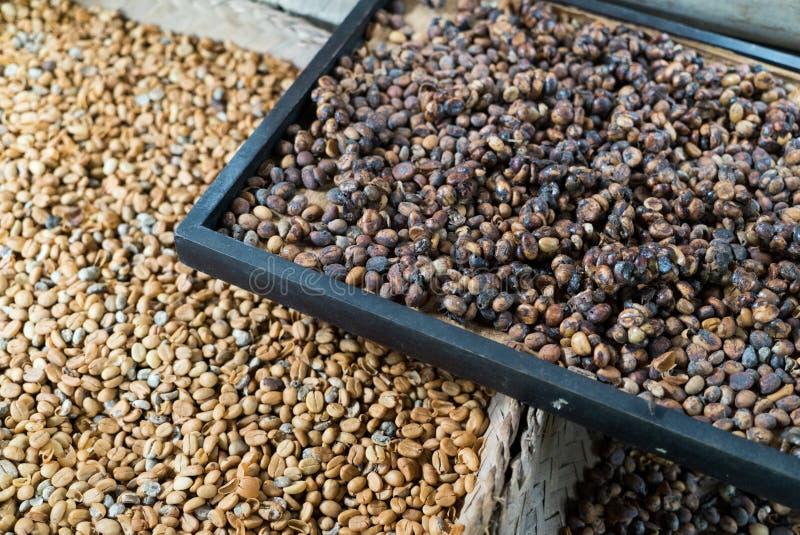 Granos de café de Kopi Luwak en el sulight imagenes de archivo
