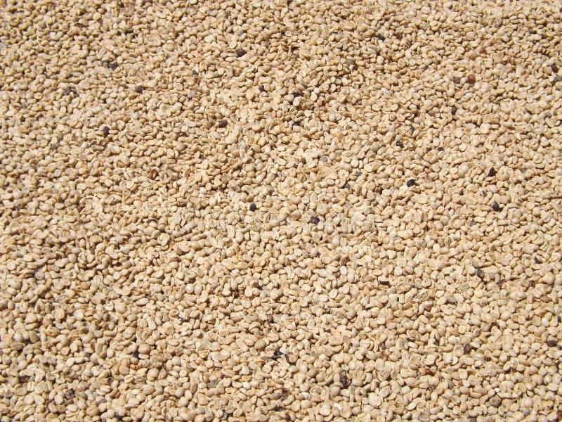 Granos de café que se secan en el sol imágenes de archivo libres de regalías