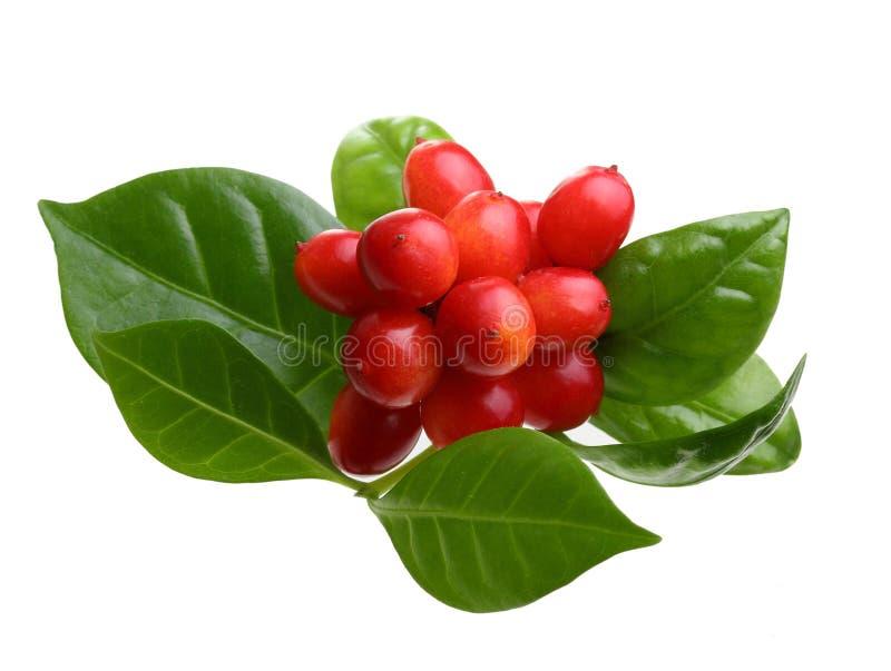 Granos de café verdes con las hojas imagen de archivo