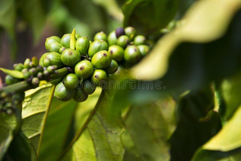 Granos de café verdes, semilla de bayas de la planta del Coffea, Vietnam imágenes de archivo libres de regalías