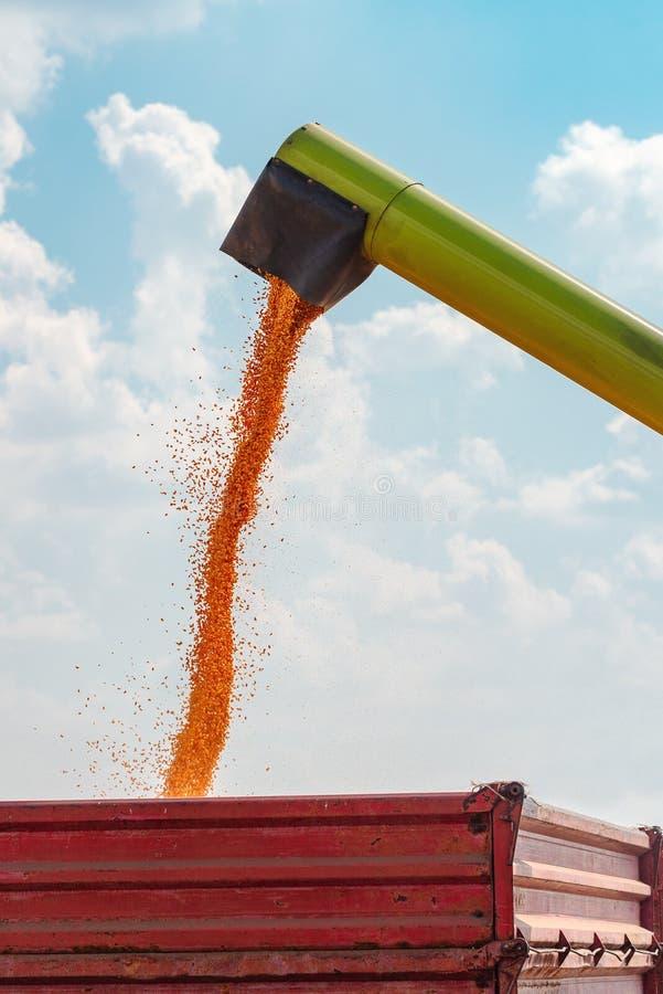 Granos de colada del maíz del descargador de la máquina segadora en el carro del cargo del tractor fotografía de archivo