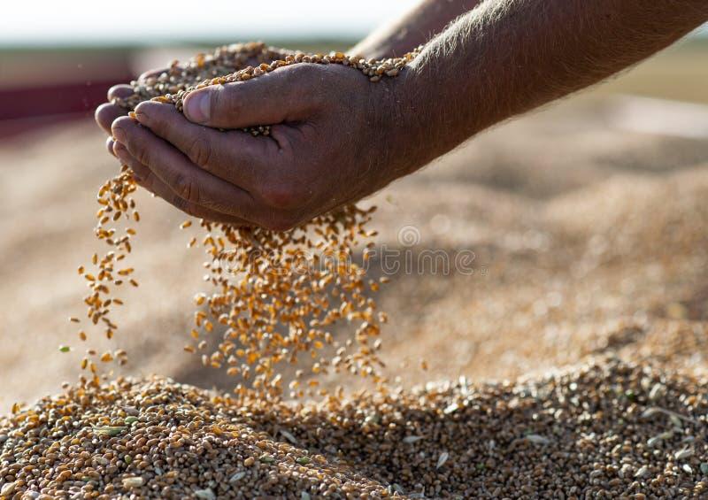 Granos del trigo en manos en el almacenamiento del molino fotografía de archivo