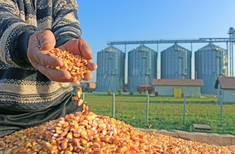 Granos recién cosechados del maíz fotografía de archivo libre de regalías