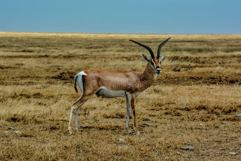 Grant Gazelle anseende i den stora savannahvidden av Serengetien arkivbild