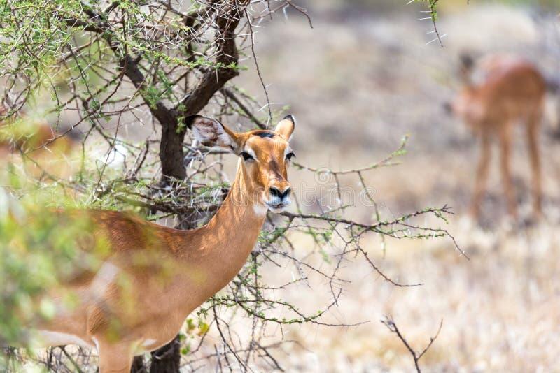Grant Gazelle betar i vidsträcktheten av den kenyanska savannahen royaltyfri foto