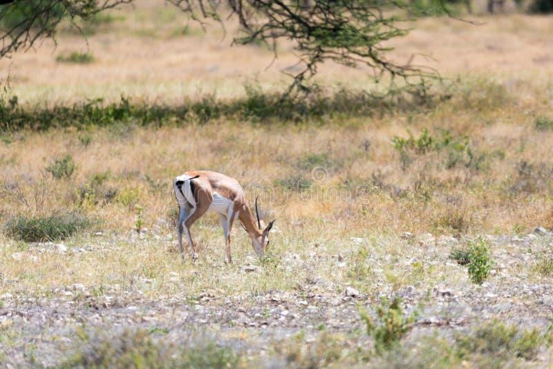 Grant Gazelle betar i vidsträcktheten av den kenyanska savannahen royaltyfri bild