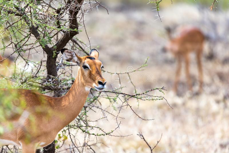 Grant Gazelle betar i vidsträcktheten av den kenyanska savannahen royaltyfria foton
