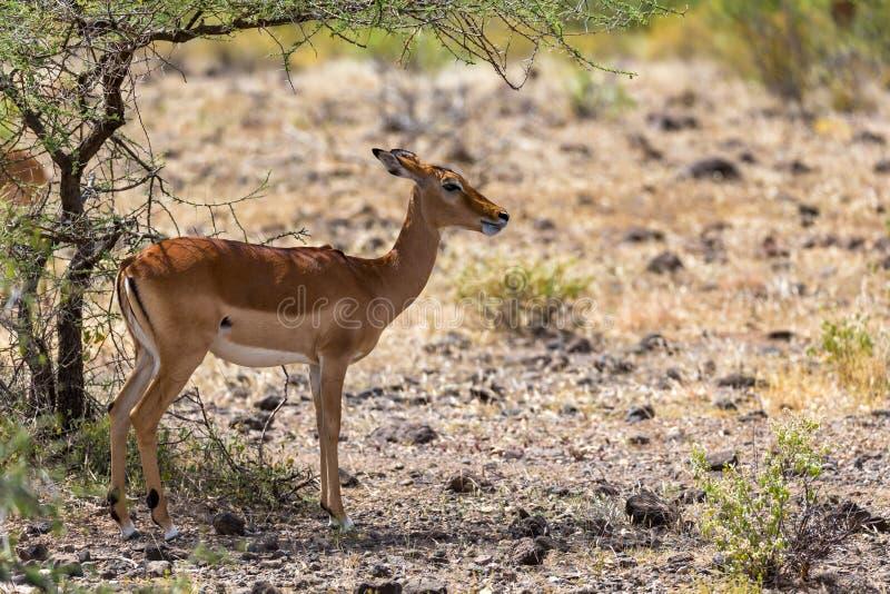 Grant Gazelle grazes in the vastness of the Kenyan savannah. The Grant Gazelle grazes in the vastness of the Kenyan savannah stock image
