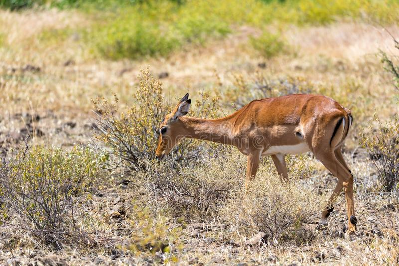 Grant Gazelle grazes in the vastness of the Kenyan savannah. The Grant Gazelle grazes in the vastness of the Kenyan savannah royalty free stock images