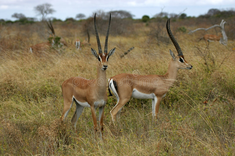 Grant Gazelles. Group of bachelor grant gazelles stock images