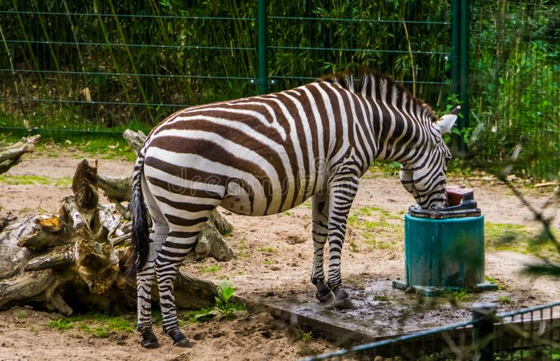 Grants zebra drinking water from a water system, Zoo animal care, Near threatened animal specie from the plains of africa royalty free stock photography