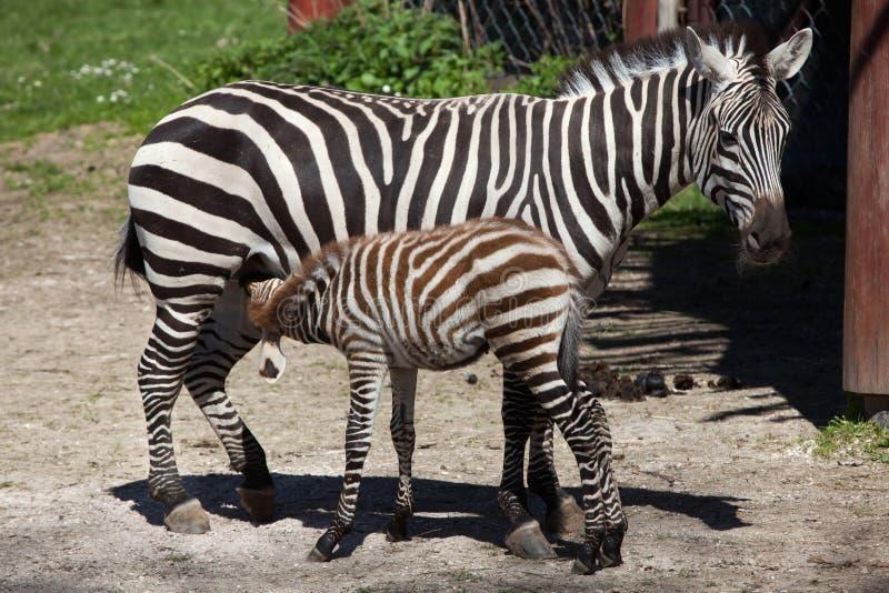 Grant's zebra (Equus quagga boehmi) feeding its foal. Wild life animal royalty free stock photos