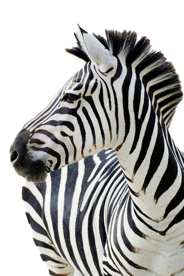 Grant s zebra (Equus quagga boehmi) isolated