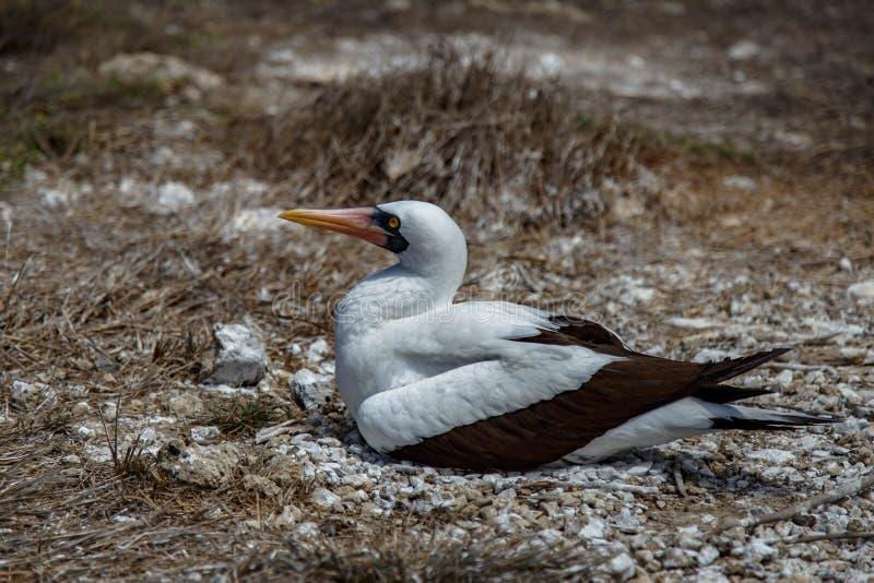 Granti van Sula van Nazcadomoren op Isla de la Plata, - het deel van het Nationale Park van Machalilla van de kust van Puerto Lop royalty-vrije stock foto