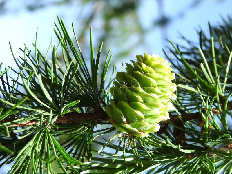 Granträd med kotten i sommar, Litauen fotografering för bildbyråer