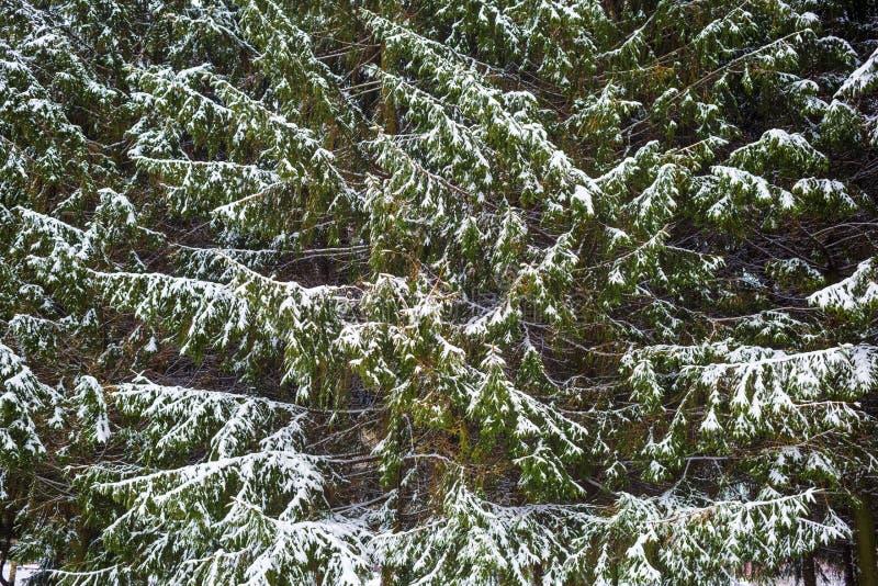 Granträd och snö fotografering för bildbyråer