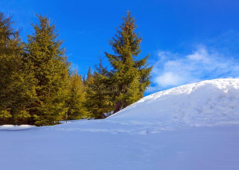 Granträd och snödrivor arkivfoton