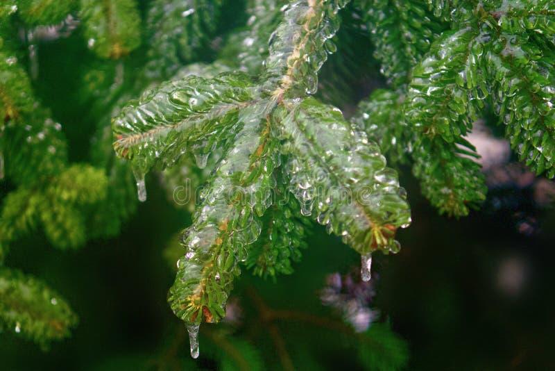Granträdfilial som täckas i klar is efter frysa regn arkivbild