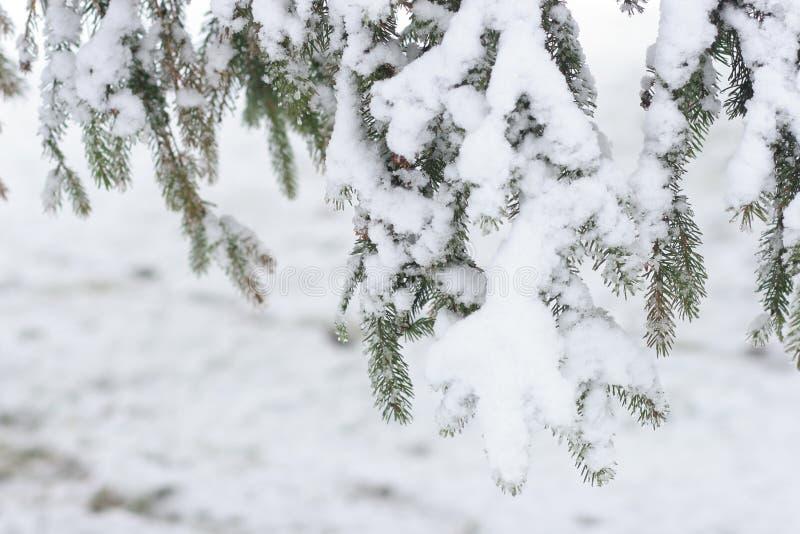 Granträdfilialer under snö royaltyfria bilder