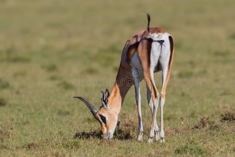 Grants Gazelle Female Eating Grass. Part of a large harem, this female Grant`s Gazelle is eating the short grass on the plains of Olare Orok Conservancy stock images