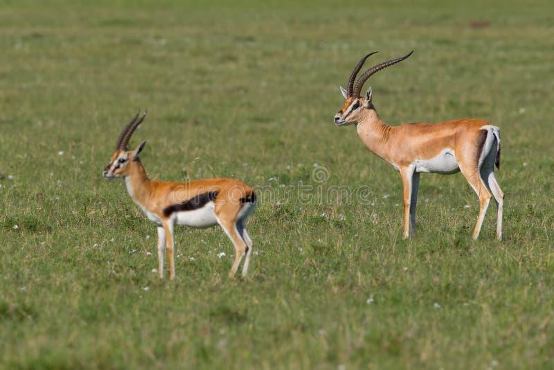 Grants Gazelle Male with Thomsons Gazelle. A Grant`s Gazelle, standing near a Thomson`s Tommy Gazelle, in Olare Orok Conservancy, bordering Masai Mara, Kenya royalty free stock photo