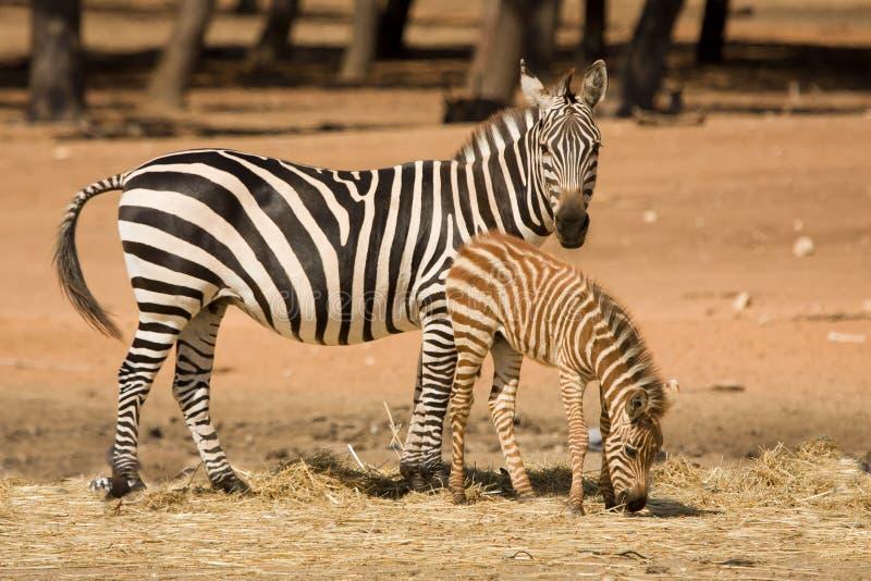 Grants Zebra mit Fohlen lizenzfreies stockbild
