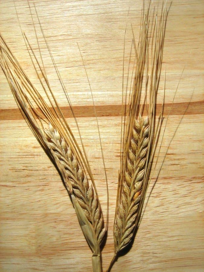 Granuli del frumento immagine stock