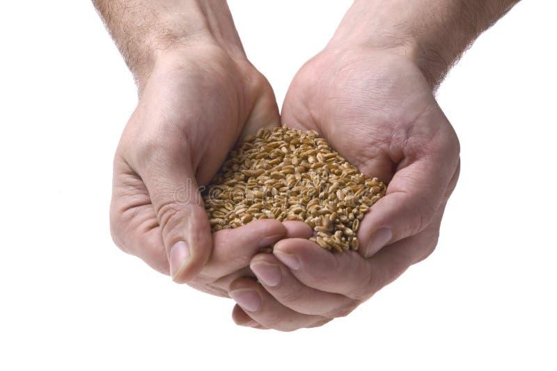 Granulo del frumento in mani dell'uomo fotografia stock