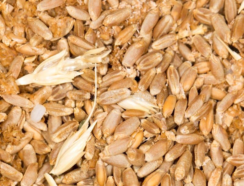 Granulo del frumento Primo piano immagine stock
