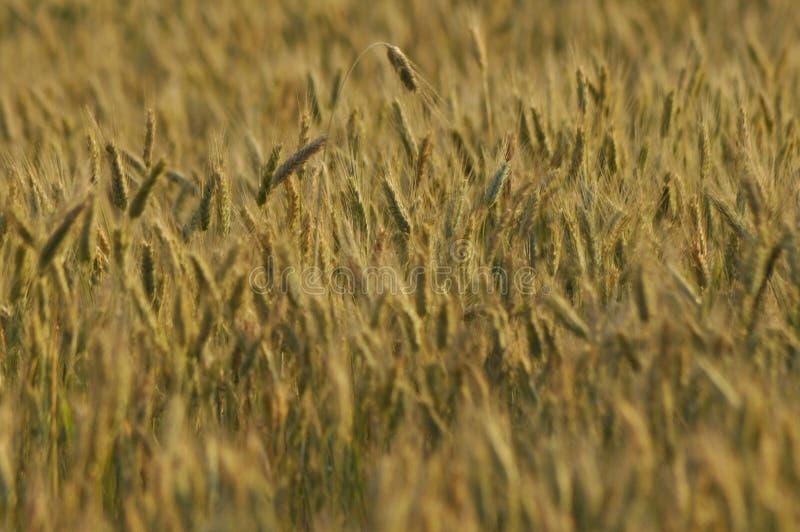 Granulo nei campi Orecchie di maturazione Raccolto e grano in farina poderi immagine stock