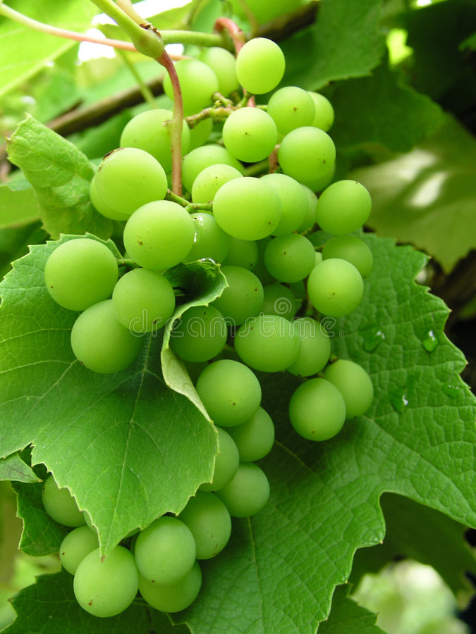 Free Grape 1 Royalty Free Stock Photos - 328438