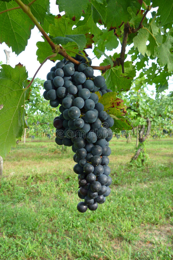 Download Grape stock image. Image of autumn, prosecco, italy, green - 10734979