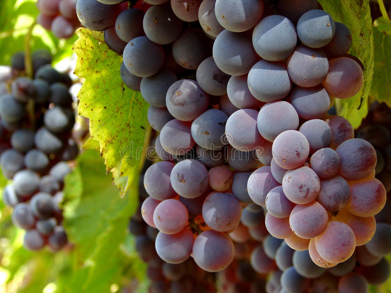 Download Grape stock photo. Image of bundle, foliage, agricultural - 16349360