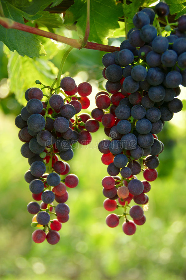 Grape - 2 stock images