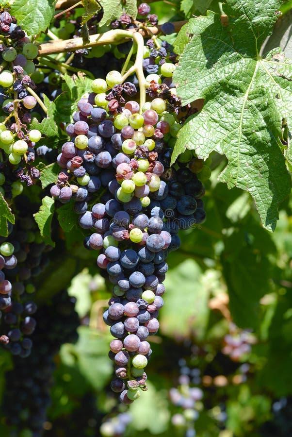 Download Grape stock image. Image of fruitful, growing, juicy - 20791063