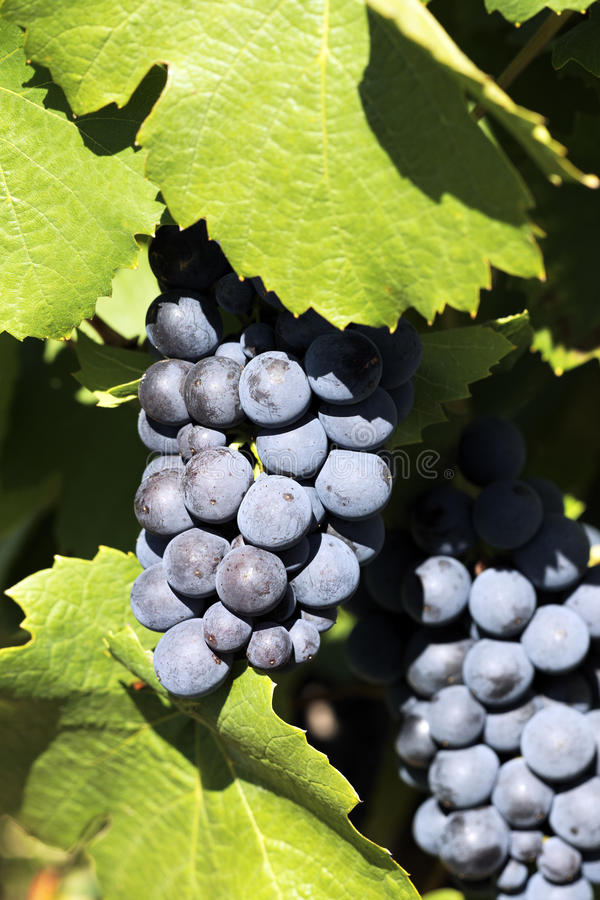 Download Grape stock image. Image of grow, agriculture, summer - 20919565