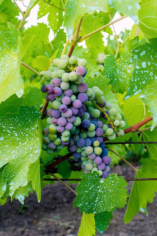 Grape Stock Photo