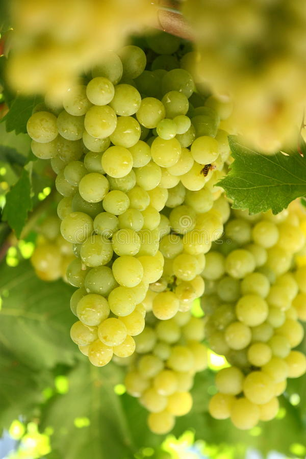 Download Grape stock photo. Image of autumn, nobody, country, fresh - 26467900
