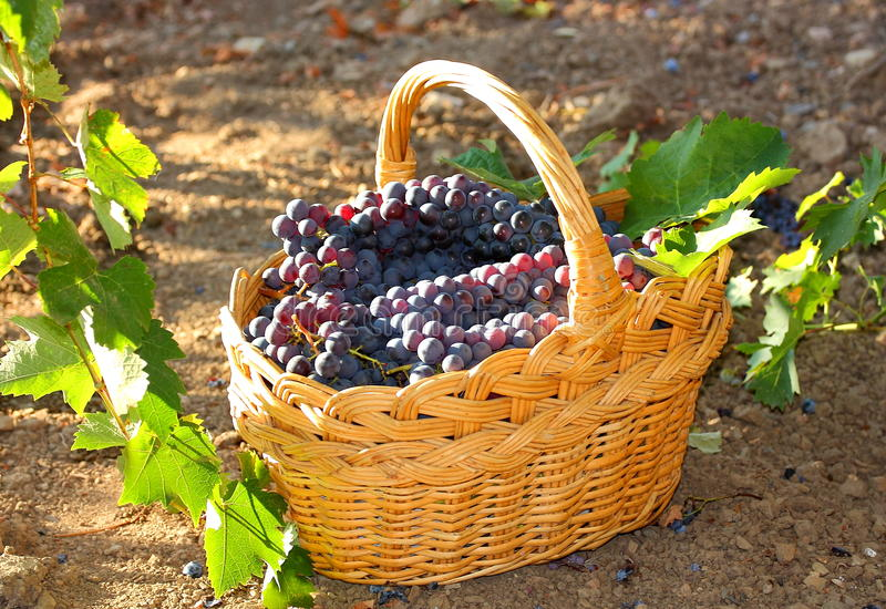 Download Grape stock photo. Image of harvesting, leaf, smile, collect - 26951160