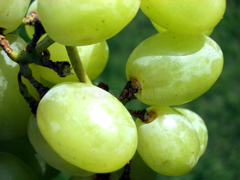 Download Grape 4 stock photo. Image of horticulture, green, growth - 174302