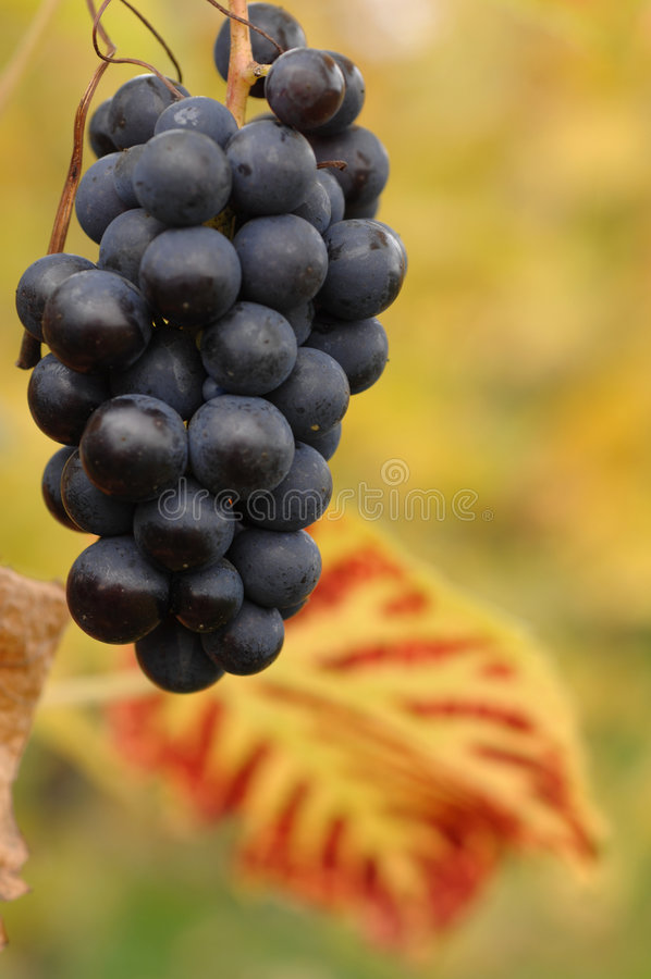 Grape. Vineyard in autumn, Kaiserstuhl, Germany royalty free stock photos