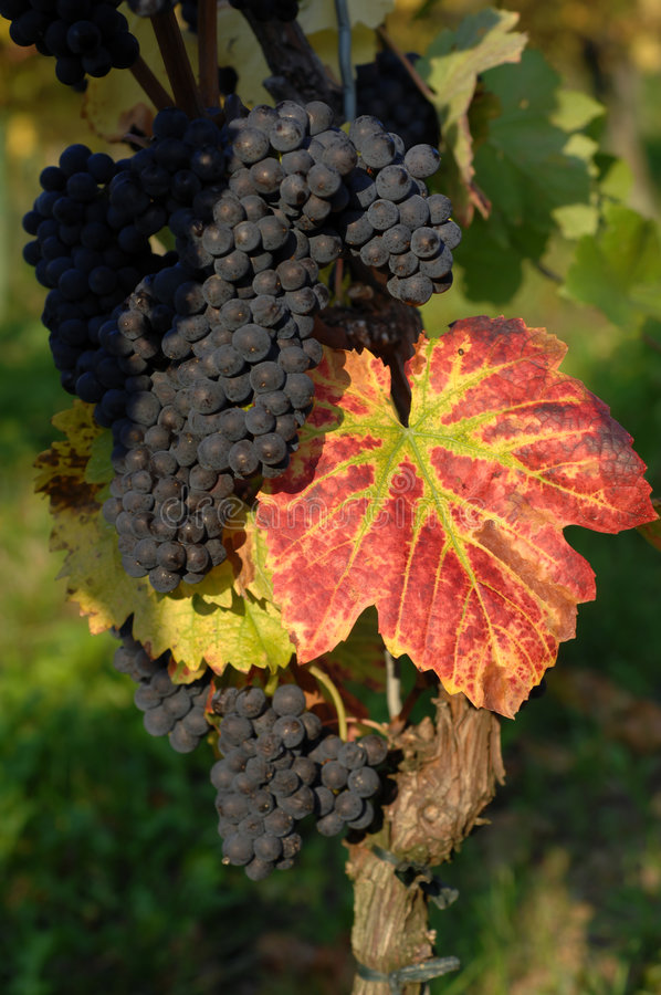 Grape. Vineyard in autumn, Kaiserstuhl, Germany stock photos