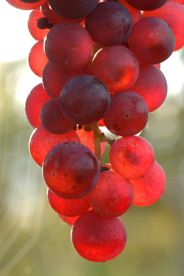 Grape. Vineyard in autumn, Kaiserstuhl, Germany stock images