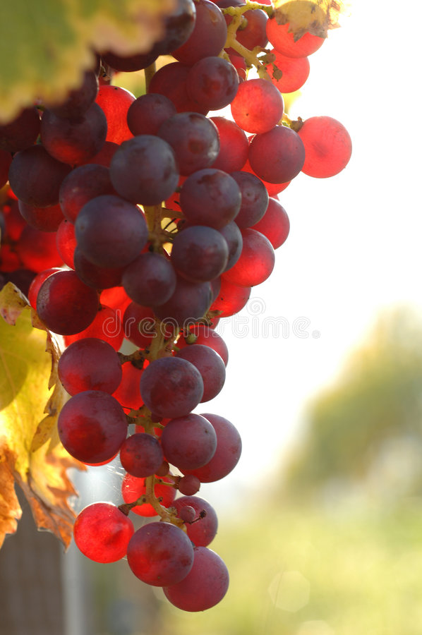 Grape. Vineyard in autumn, Kaiserstuhl, Germany royalty free stock images